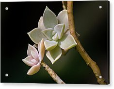 Acrylic Print featuring the photograph Ghost Plant by Dale Kincaid