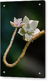 Acrylic Print featuring the photograph Ghost Plant Succulent by Dale Kincaid