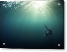 Acrylic Print featuring the photograph Giant Manta Ray by Nicole Young