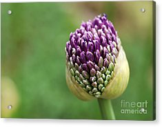 Giant Purple Allium Bud Just Opening Acrylic Print