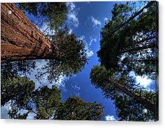 Giant Sequoias - 2 Acrylic Print by Rhyman007