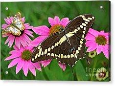 Giant Swallowtail Papilo Cresphontes Acrylic Print