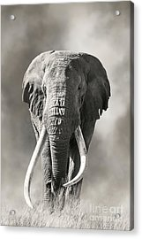 Giant Tusked Bull Elephant In Amboseli, Kenya Acrylic Print