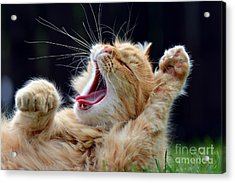 Ginger Cat Yawns Acrylic Print