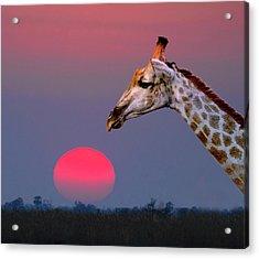 Giraffe Composite Acrylic Print