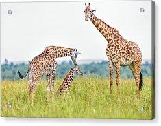 Giraffe Family Acrylic Print by 1001slide