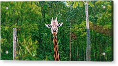 Giraffe Looking For Food During The Daytime. Acrylic Print