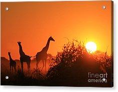Giraffe Silhouette - African Wildlife Acrylic Print