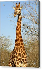 Giraffe Standing In The Trees Kruger Acrylic Print by Paul Banton