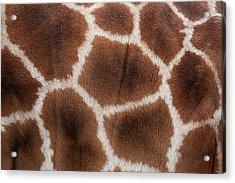 Giraffes Skin Texture Acrylic Print by Andrew Dernie