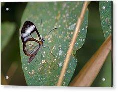 Glasswing Butterfly Jardin Botanico Del Quindio Calarca Colombia Acrylic Print