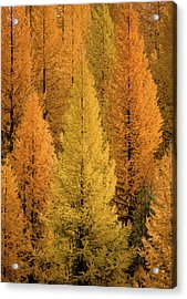 Acrylic Print featuring the photograph Gold Tamaracks / Seeley Lake, Montana  by Nicholas Parker