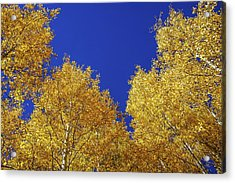Golden Aspens And Blue Skies Acrylic Print