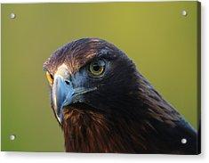 Golden Eagle 5151802 Acrylic Print