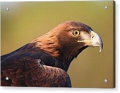 Golden Eagle 5151806 Acrylic Print