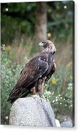 Golden Eagle On Rock 92515 Acrylic Print
