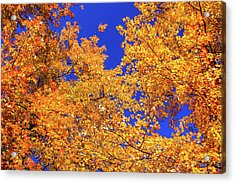 Golden Oaks Acrylic Print