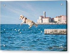 Golden Retriever Dog Jumping Into Sea Acrylic Print by Sonsart