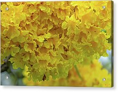 Acrylic Print featuring the photograph Golden Tree, Golden Trumpet Tree Or Tallow Pui Dthn0255 by Gerry Gantt