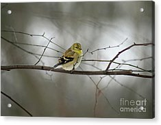 Goldfinch In Winter Looking At You Acrylic Print