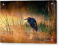 Goliath Heron Ardea Goliath With Acrylic Print