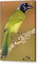 Gorgeous Green Jay Acrylic Print