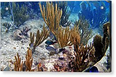 Gorgonian Parrotfish Acrylic Print