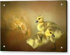 Goslings And Daisies Acrylic Print