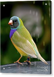 Acrylic Print featuring the photograph Gouldian Finch? #2 by PJ Boylan
