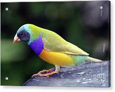 Acrylic Print featuring the photograph Gouldian Finch?  by PJ Boylan