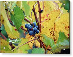 Acrylic Print featuring the photograph Grapes In Tuscany by Mark Duehmig