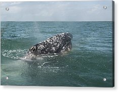Gray Whale In Bahia Magdalena Acrylic Print