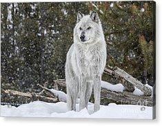 Gray Wolf Acrylic Print by David Osborn
