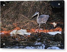Acrylic Print featuring the photograph Great Blue Heron by Debbie Stahre