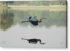 Great Blue Heron In Flight Acrylic Print