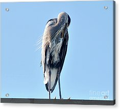 Great Blue Heron Preening On A Roof Acrylic Print
