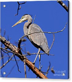 Great Blue Heron Strikes A Pose Acrylic Print