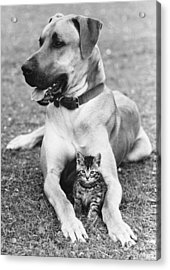Great Dane And Kitten Acrylic Print by John Pratt