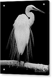 Acrylic Print featuring the digital art Great Egret In Full Bloom I - L by Kenneth Montgomery