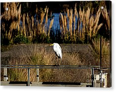 Great Egret Posing By Golden Pampas Grass Acrylic Print