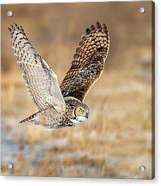 Great Horned Owl In Flight Acrylic Print