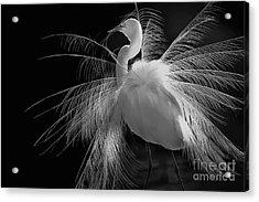 Great White Egret Portrait - Displaying Plumage  Acrylic Print