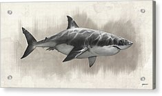 Great White Shark Drawing Acrylic Print by Steve Goad