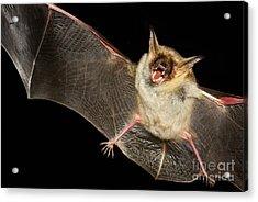 Greater Mouse-eared Bat,  Myotis Myoti Acrylic Print
