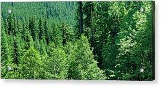 Green Conifer Forest On Steep Hillside  Acrylic Print