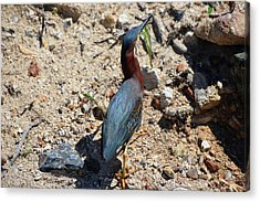 Green Heron Strut Acrylic Print
