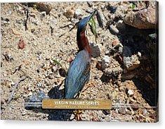 Green Heron Strut - Virgin Nature Series Acrylic Print