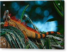 Green Iguana, Iguana Iguana, Portrait Acrylic Print