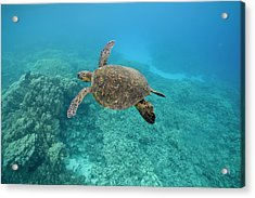 Green Sea Turtle, Big Island, Hawaii Acrylic Print