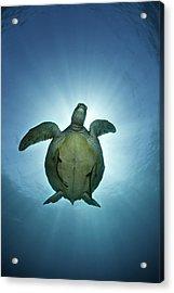 Green Sea Turtle Over Sun Acrylic Print